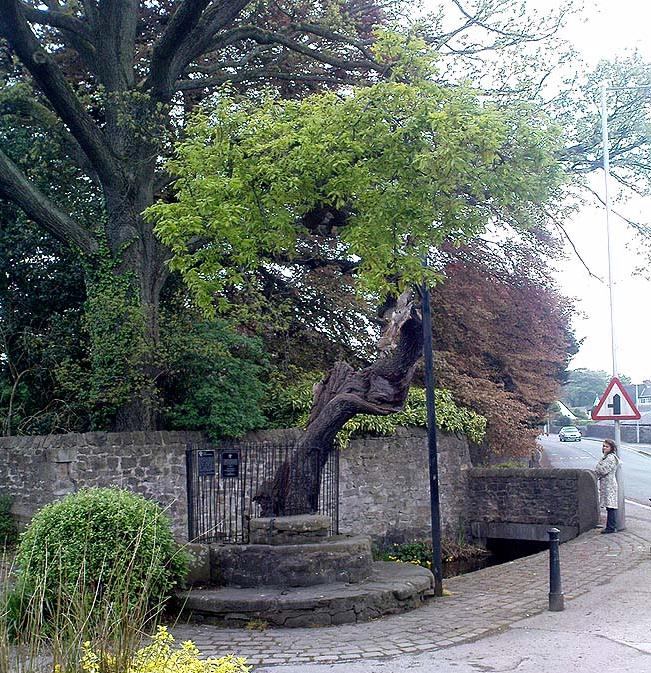 Druid's Oak, Caton