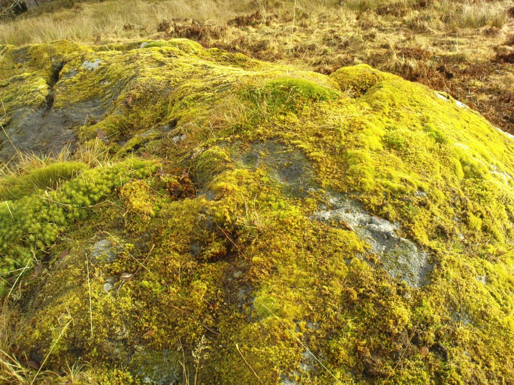 Two of at least 6 cup-markings on these mossy rocks